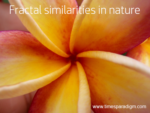 Close-up photo of Frangipani flower, showing the arrangement of petals, a fractal similarity.